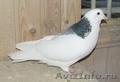 Белые голуби на свадьбы.