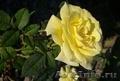 Саженцы многолетних чайно-гибридных роз